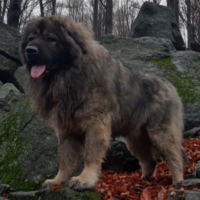 owczarek kaukaski, Polski Niedźwiedź DRAGON