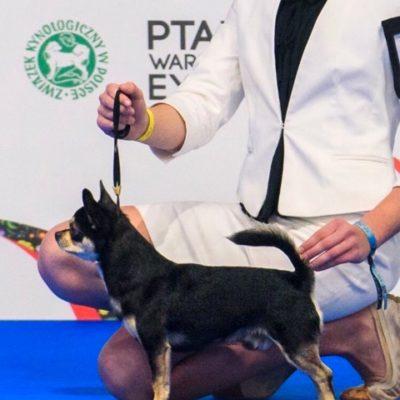 chihuahua krótkowłosy, YOYO Mirasol Polonia, wł. Małgorzata Gałek Baca